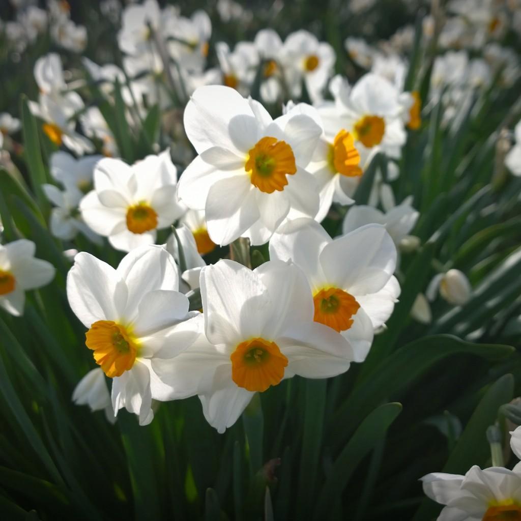 Brooksgrove - Daffodils 1