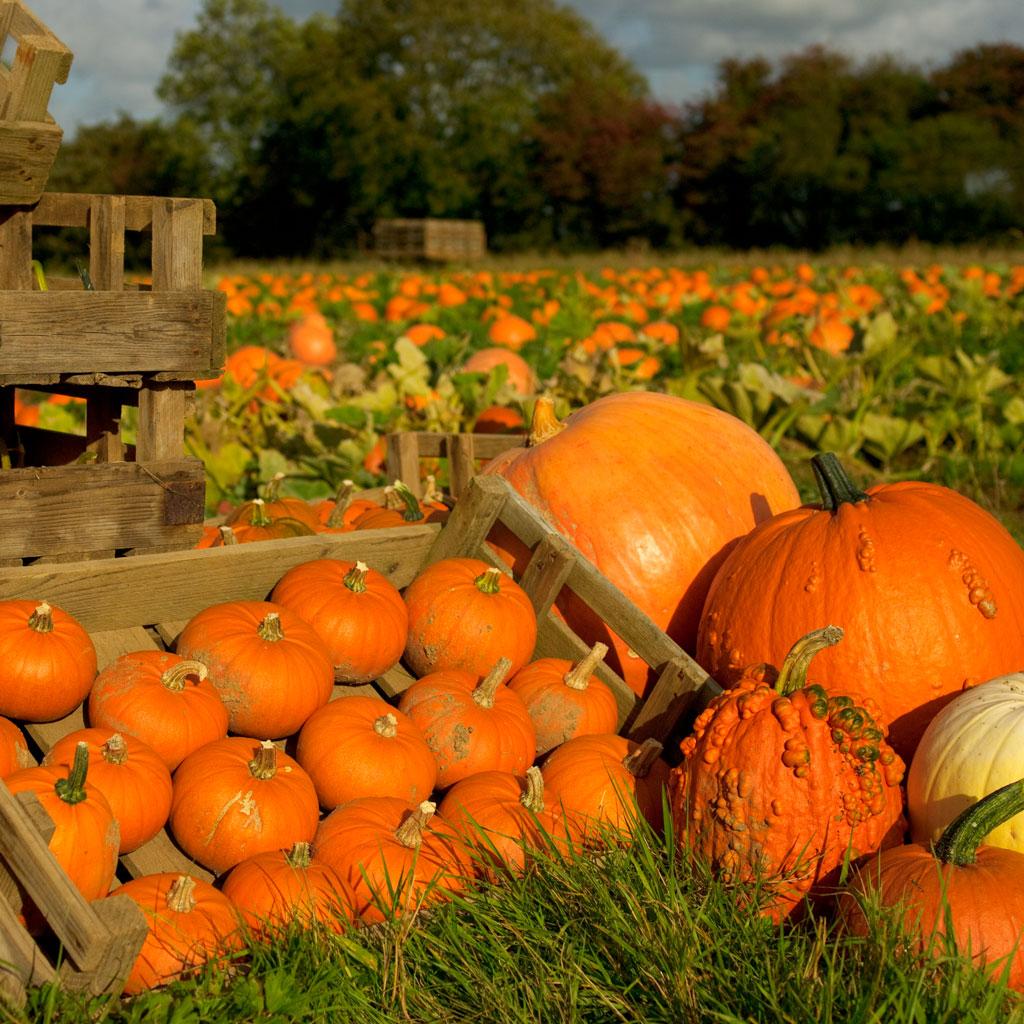 Brooksgrove-Farm-Pumpkins