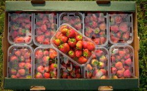 Strawberries-June-2016