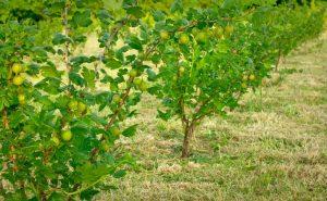 gooseberries at Brooksgrove
