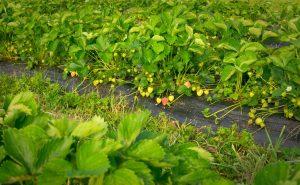 strawberry plants at Brooksgrove Farm