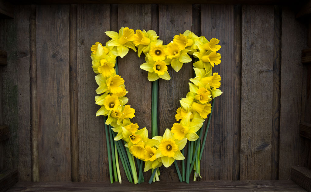Heart-of-Daffodils
