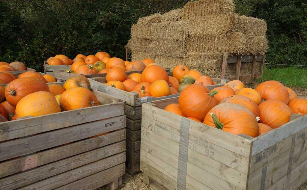 pumpkin-harvest-2017