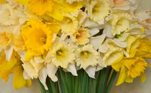 Pembrokeshire Daffodils and Narcissus